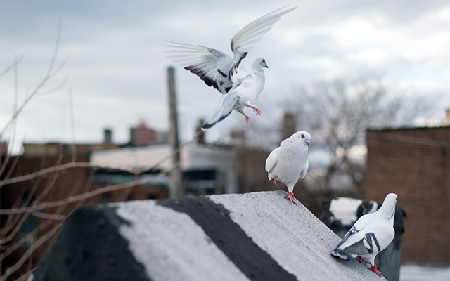 Pigeons from 'Fly By Night' (Photo: Creative Time)